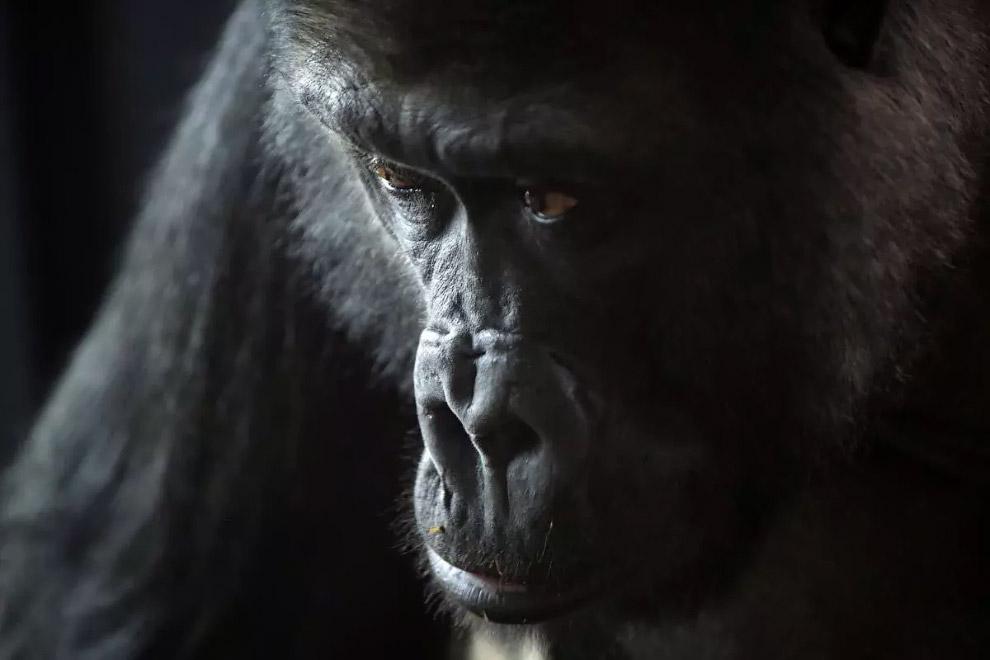 Западные равнинные гориллы