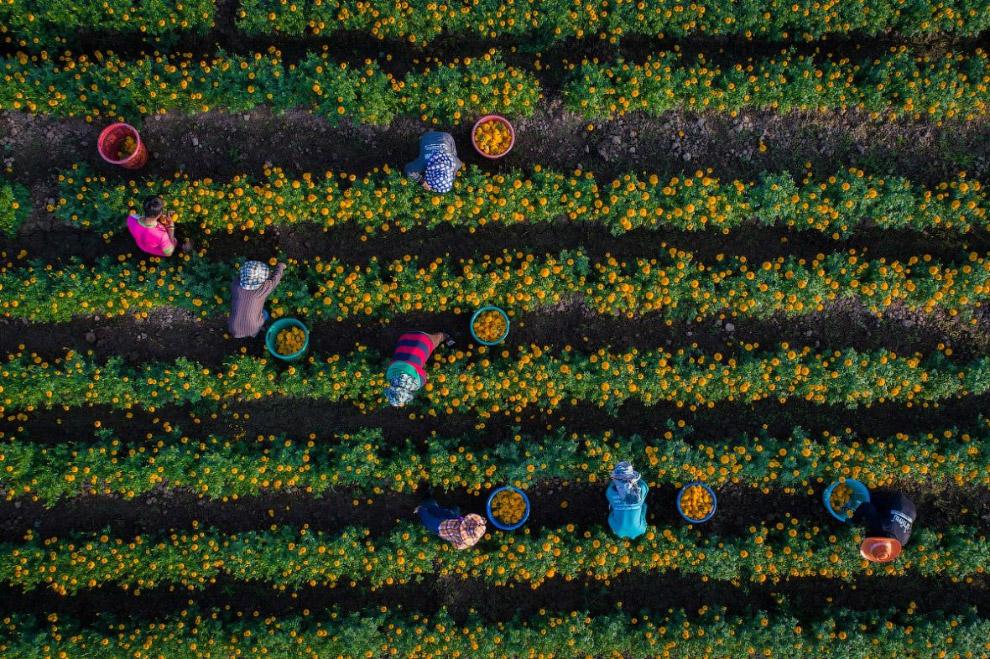 Садоводы собирают бархатцы в Сукхотае, Таиланд