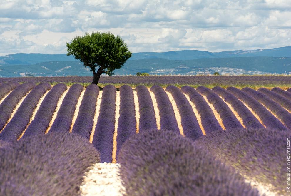 Поля лаванди в Провансі