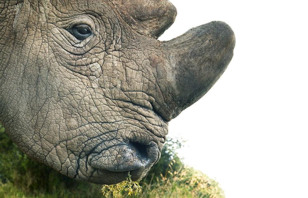 Белый носорог — второе по величине сухопутное животное на планете после слона.