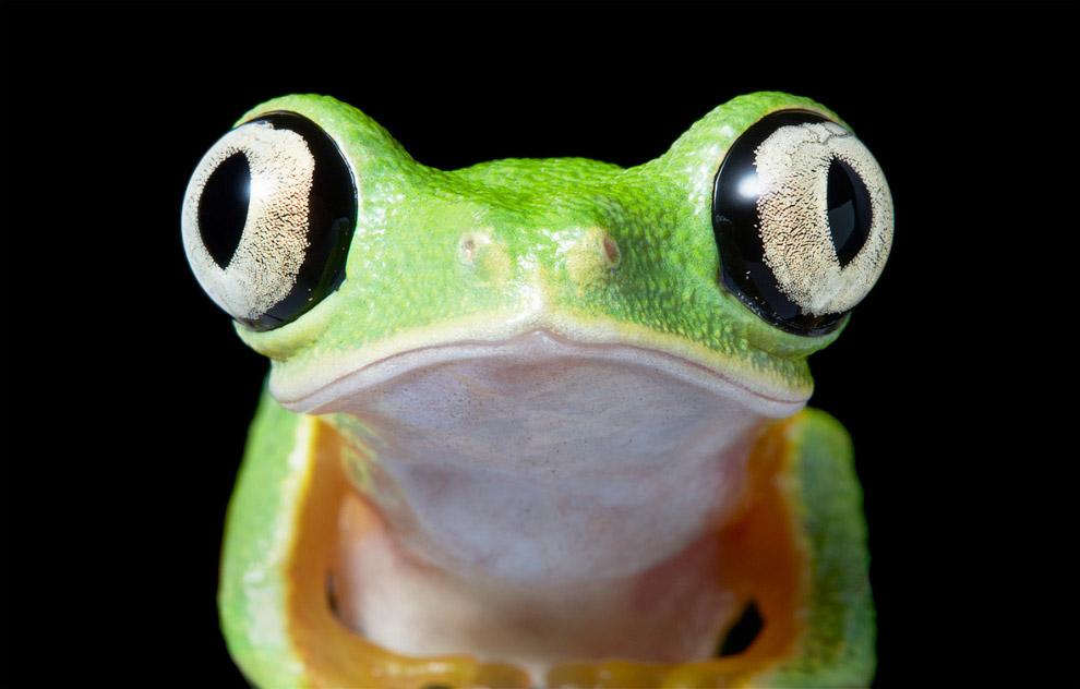 Лягушка филломедуза-лемур