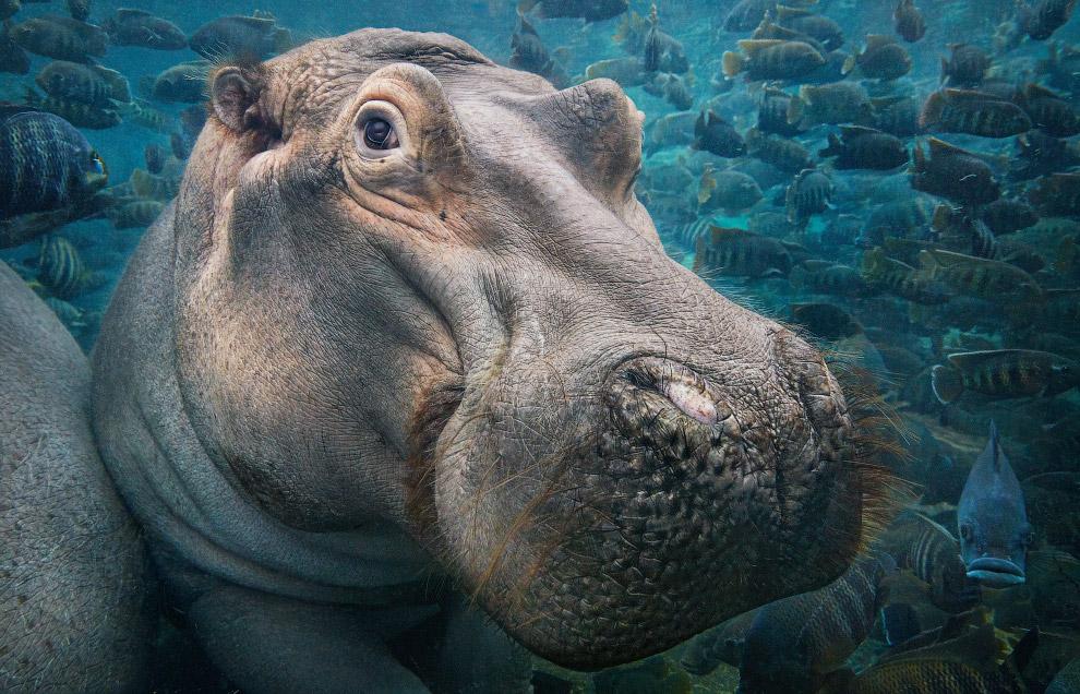 Бегемот — одно из крупнейших современных наземных животных