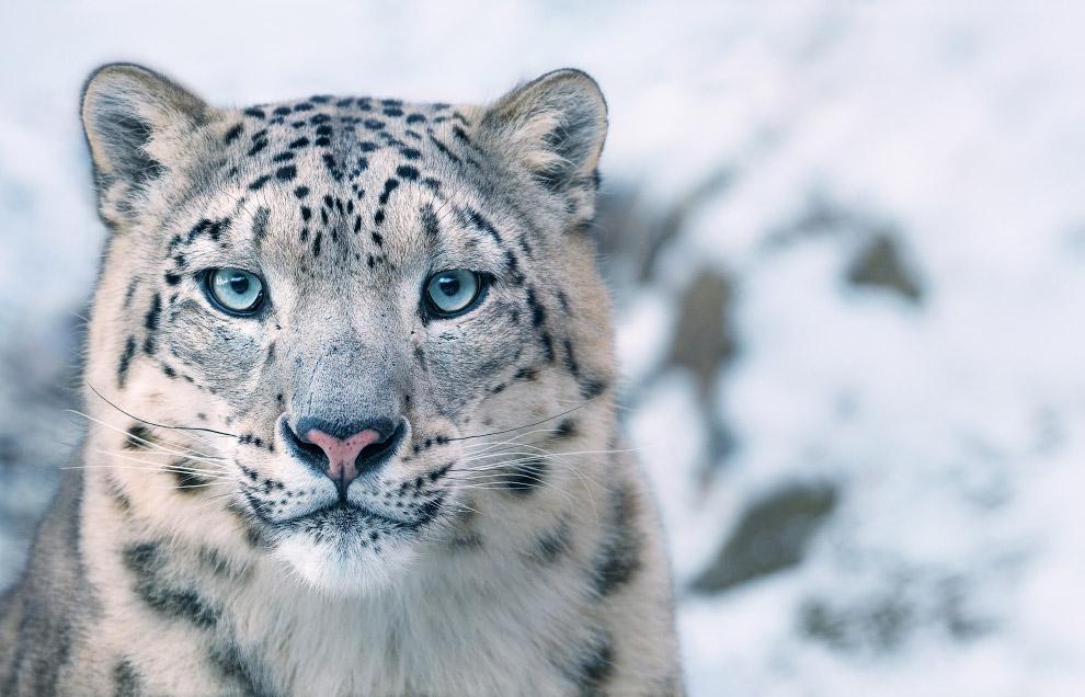 Снежный барс, или Ирбис