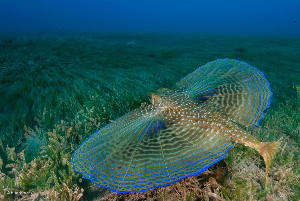 Лучепёрых рыба средиземноморский долгопёр