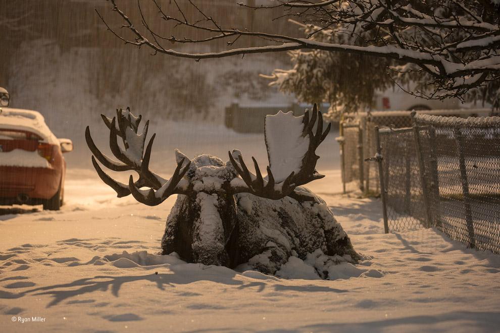 Лось на Аляске