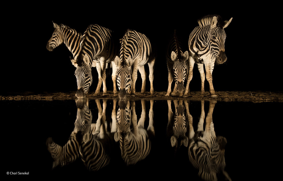 Стадо зебр в зимбабвийском заповеднике Южной Африки