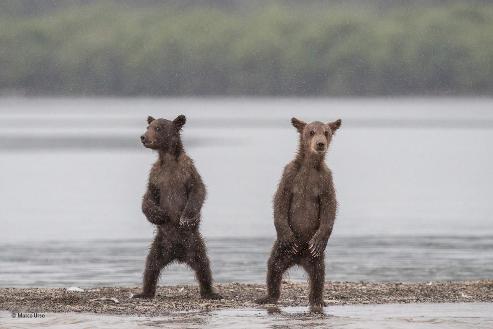 Любопытные медведи на Камчатке