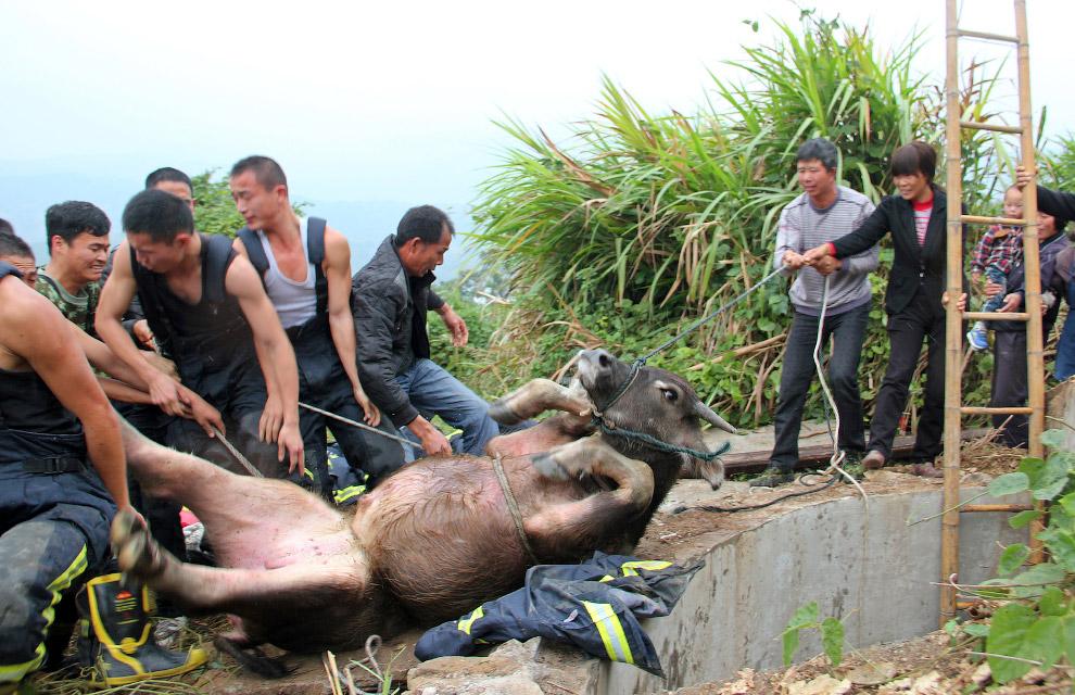 Спасение упавшего в колодец буйволенка, провинция Цзянсу, Китай