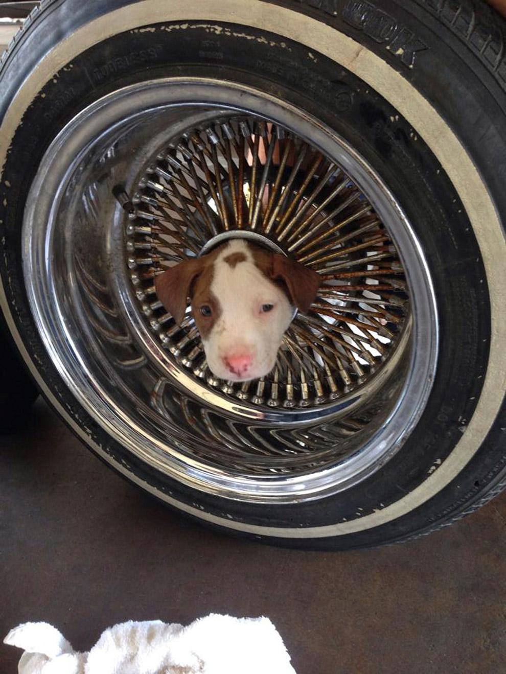 Щенок умудрился застрять в середине автомобильного колеса