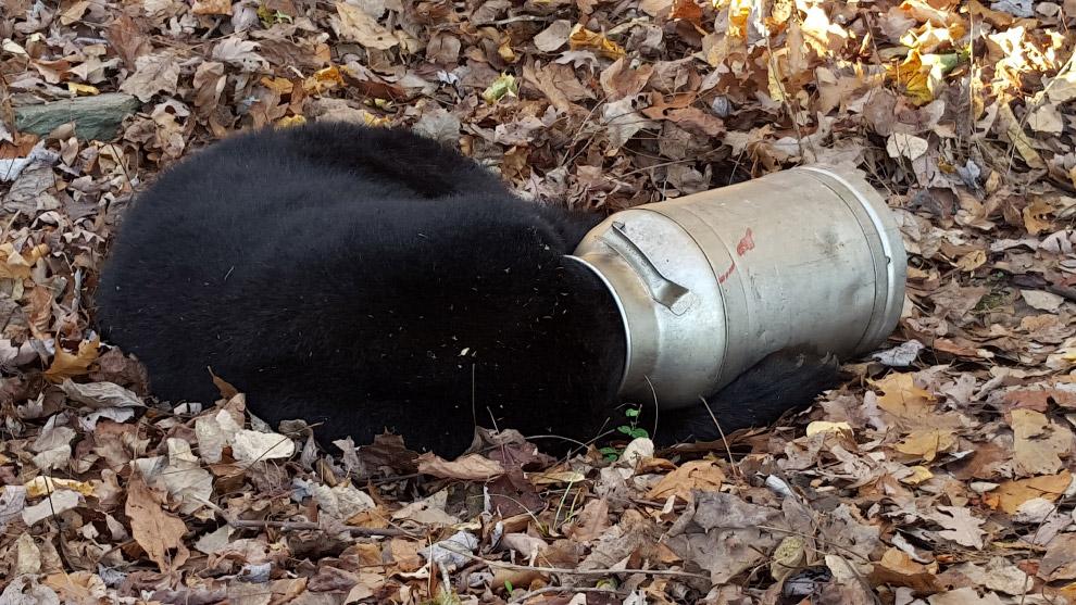 медведь застрял в бидоне из-под молока в американском штате Мэриленд