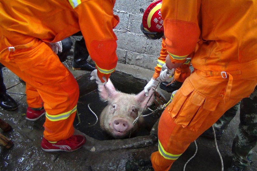 Спасают свинью, провалившуюся в колодец в Китае