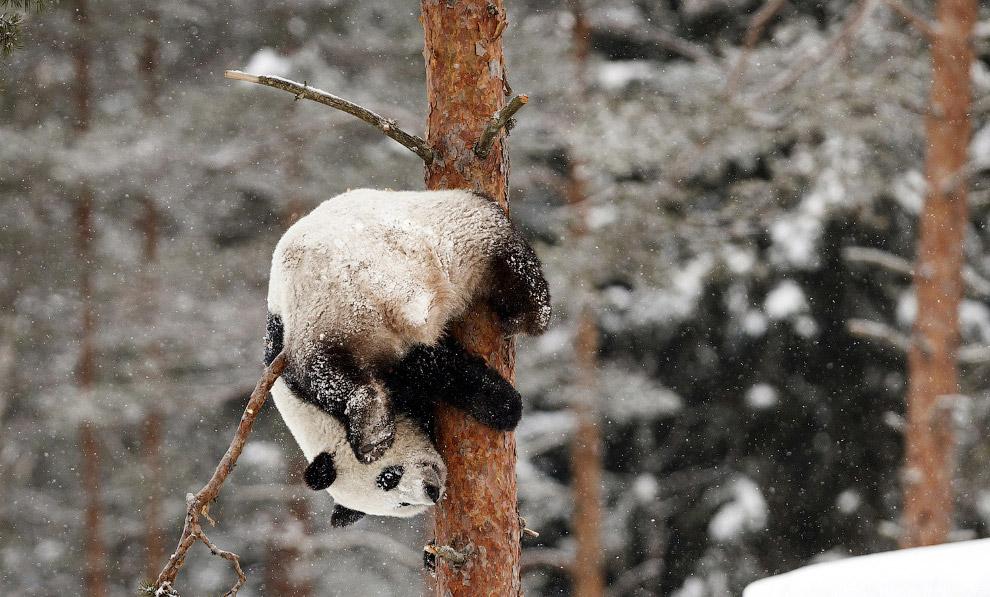 Панда-акробат в зоопарке в Ахтари, Финляндия