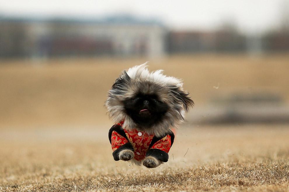 Собака-спортсмен в парке Пекина, Китай