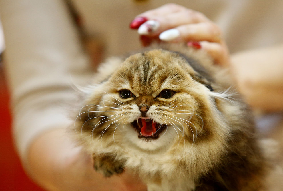 Очень недовольный кот на выставке животных в Минске