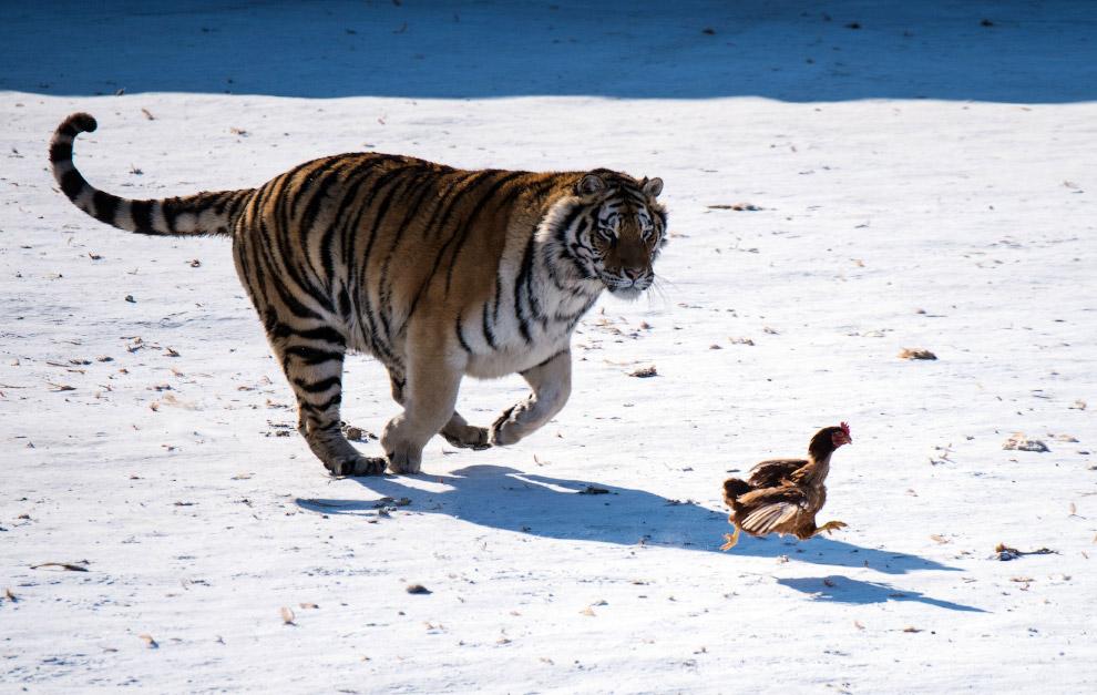В парке в городе Харбин, Китай у тигров тренируют охотничьи инстинкты с помощью куриц