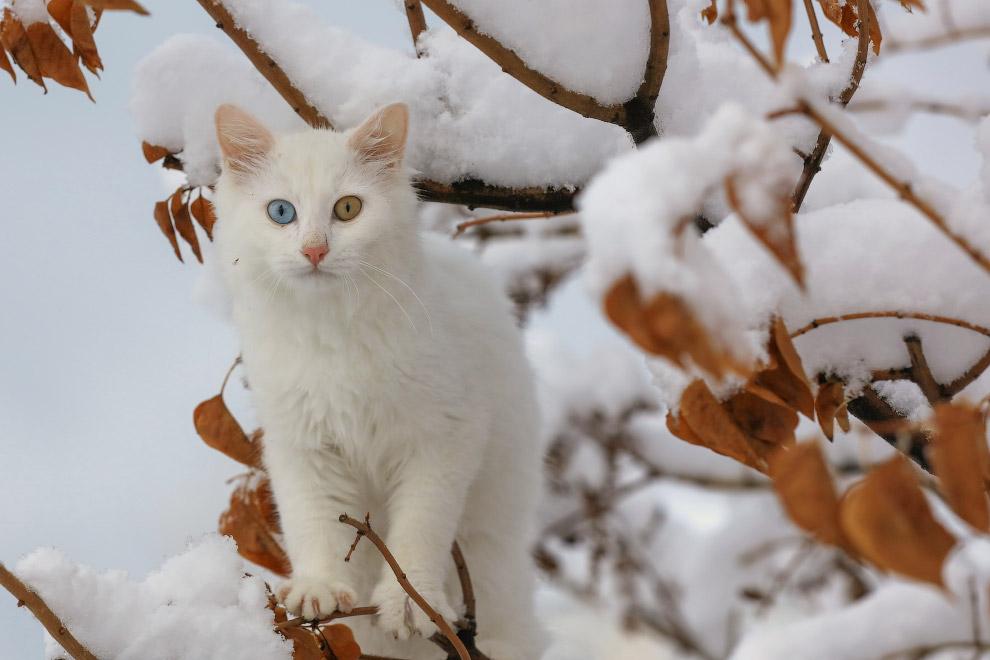 Разноглазый белый кот в снегу