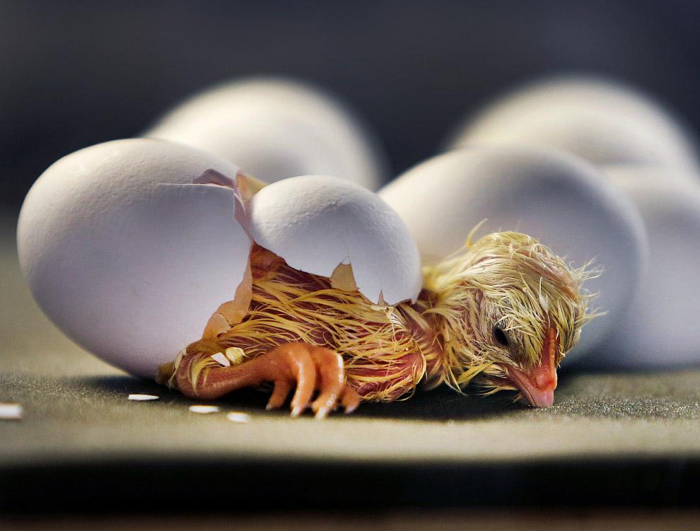 Только что вылупившийся цыплёнок