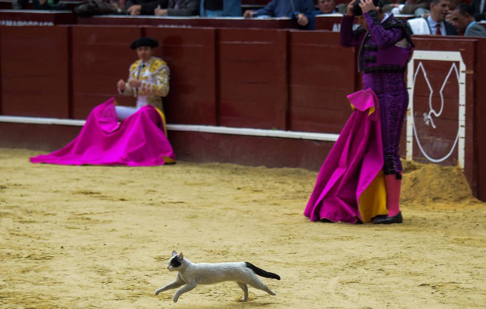 Кошка появляется во время боя быков в Боготе