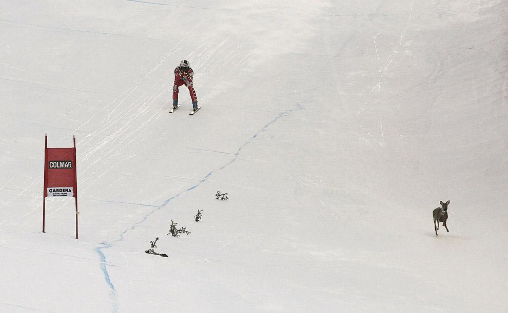 Олень на горнолыжном спуске в долине Валь Гардена, Италия