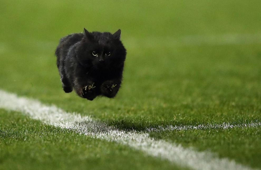 Черная кошка на поле для регби в Сиднее, Австралия
