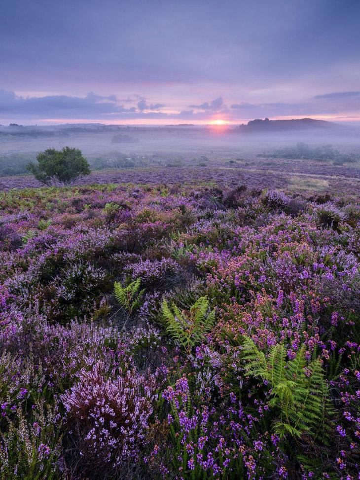 Ковер из фиолетового вереска в национальном заповеднике Стобор Хит, графство Дорсет