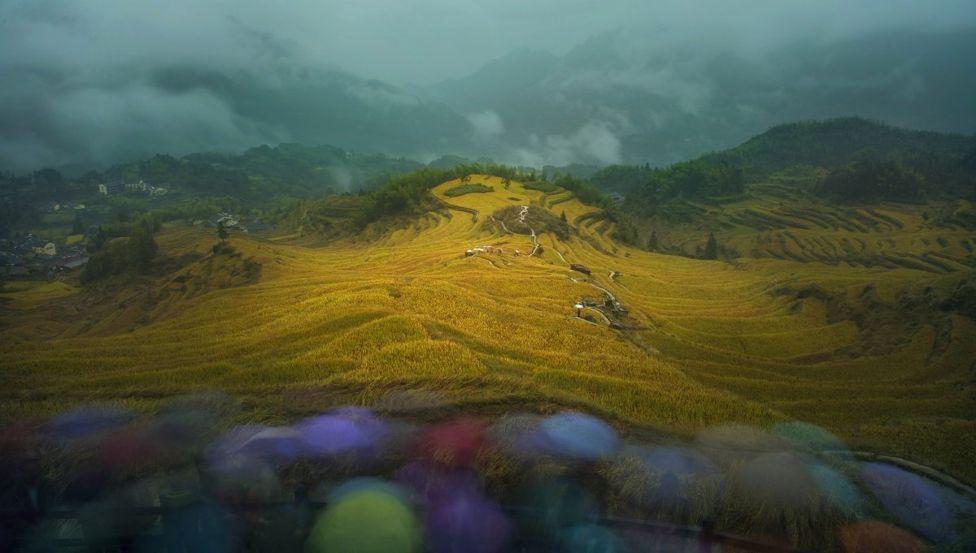 Рисовые поля в провинции Чжэцзян в Китае