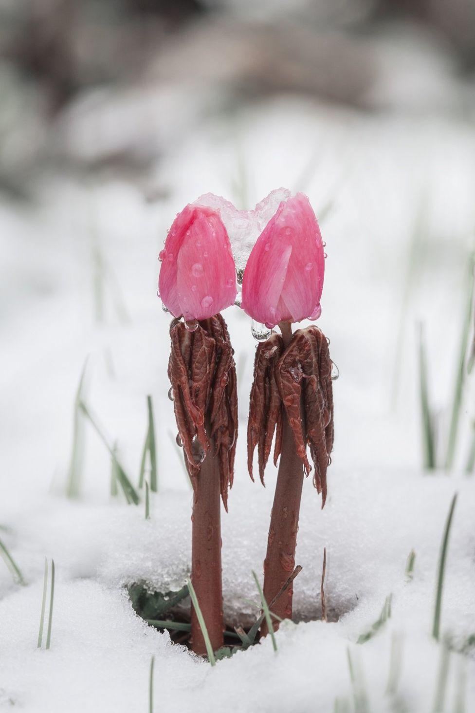 Растение в снегу в горах Юньнань в Китае