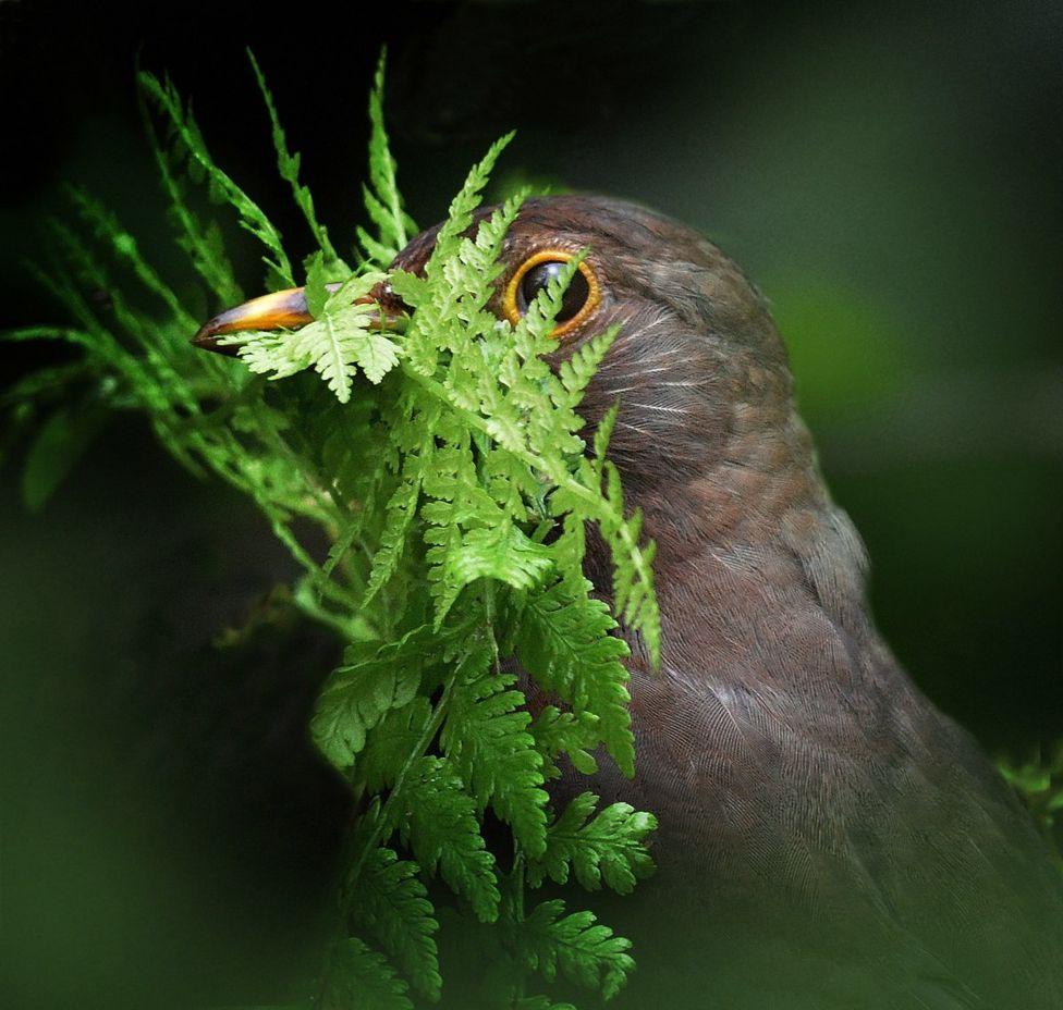 Черный дрозд обустраивает гнездо