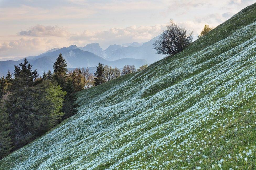 Цветочный ковер на вершине Голицы в Словении