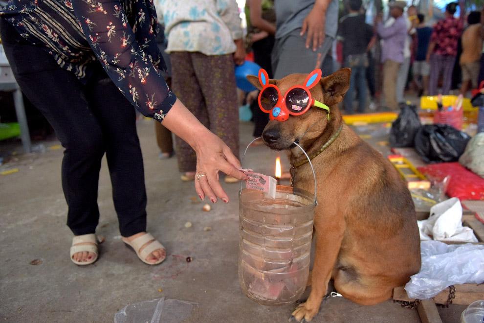Збір грошей за допомогою собаки на храм в кайдани, Камбоджа