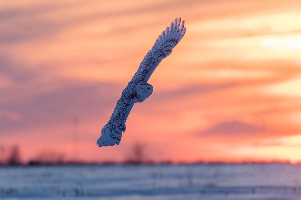 Красавица — белая сова