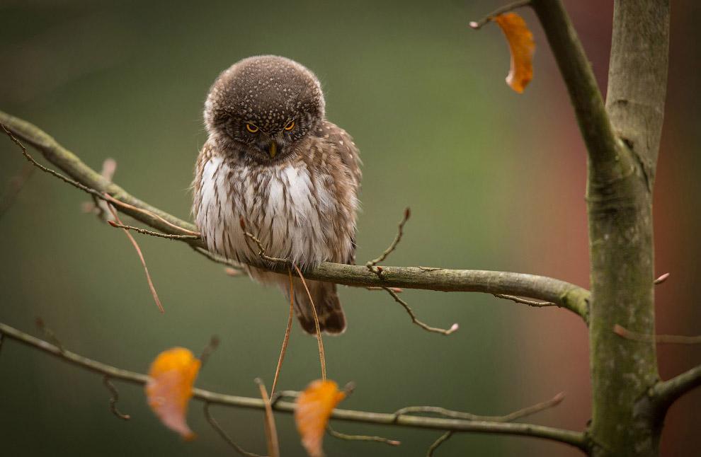 Воробьиный сыч — очень маленькая сова