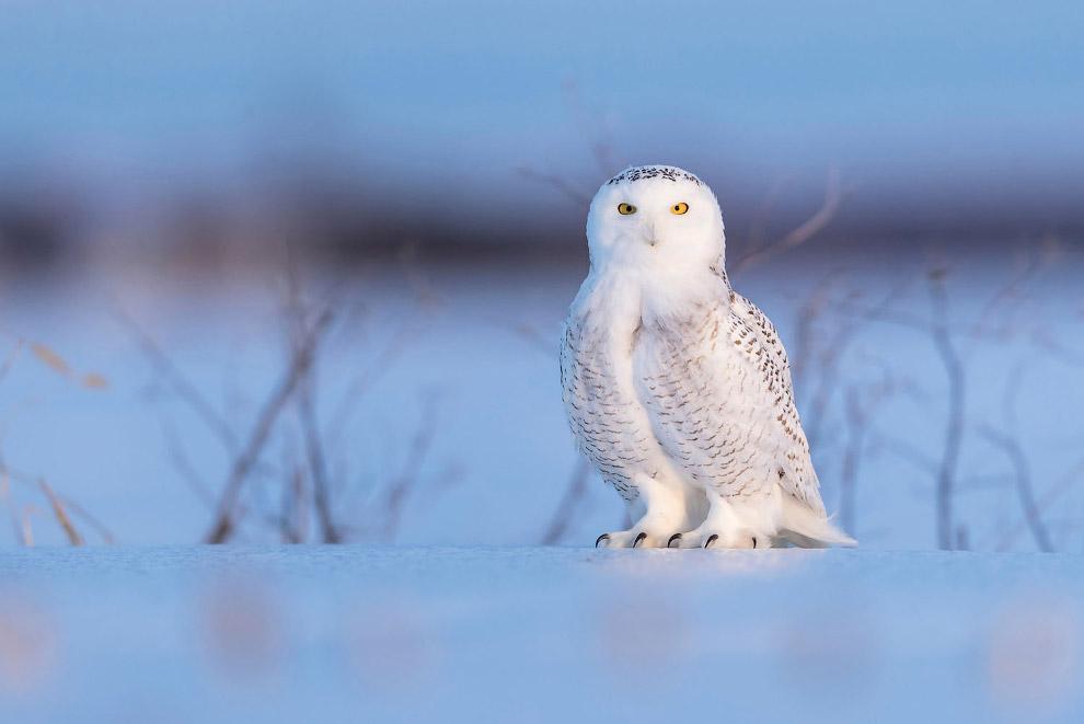 Белая сова — самая крупная птица из отряда совообразных в тундре.