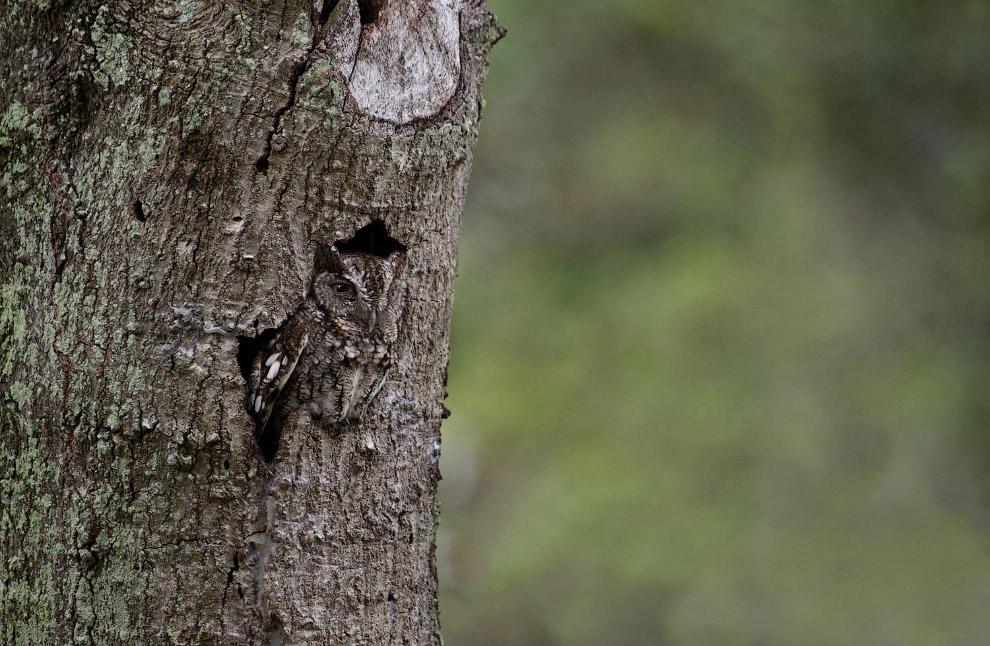 Североамериканская совка в маскировке