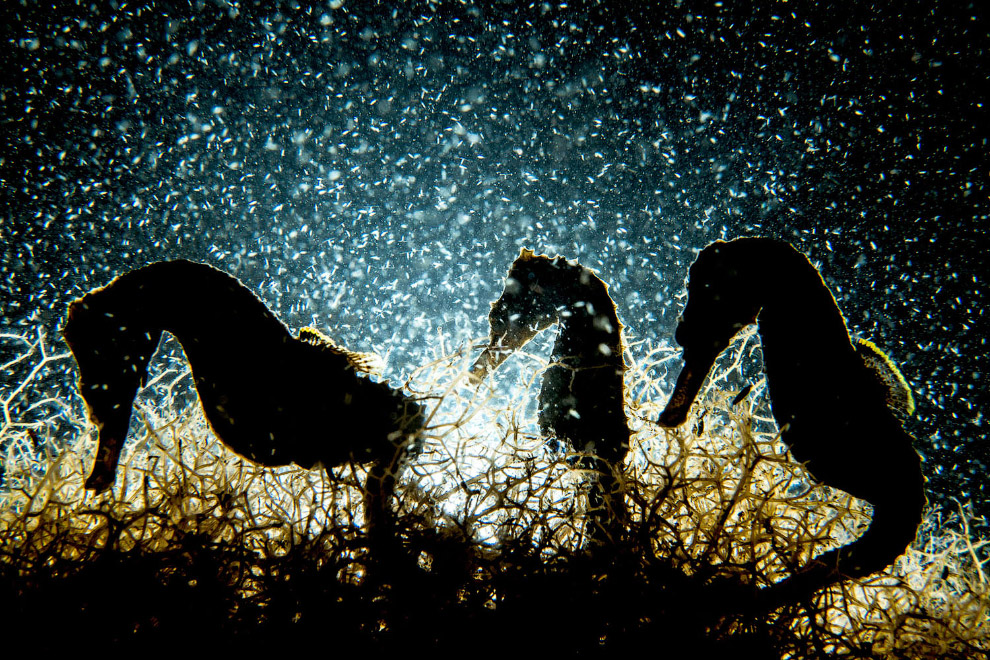 Морские коньки на Багамах