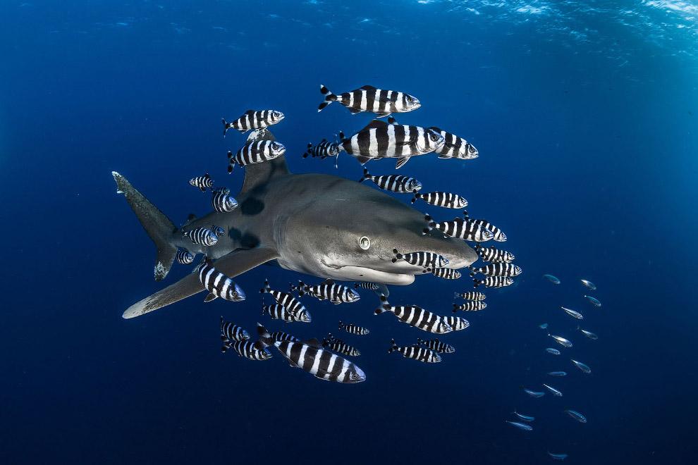 Великолепный хищник – рифовая акула
