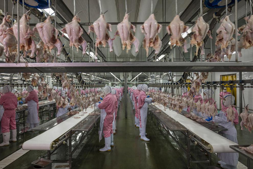 Крупнейшая куриная птица COFCO обрабатывает 120 миллионов цыплят в год