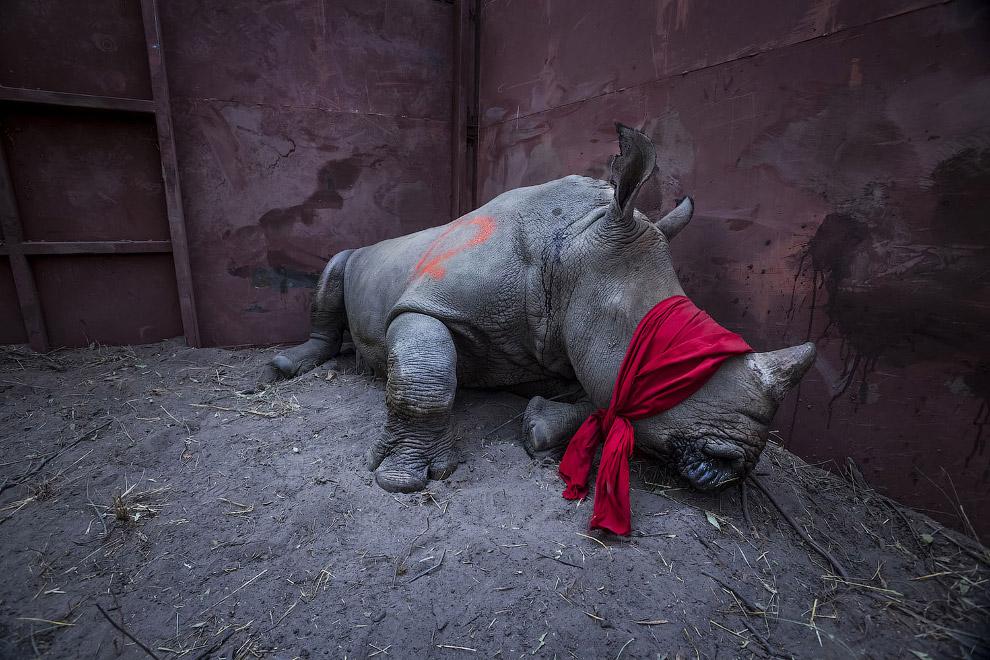 Молодой белый носорог