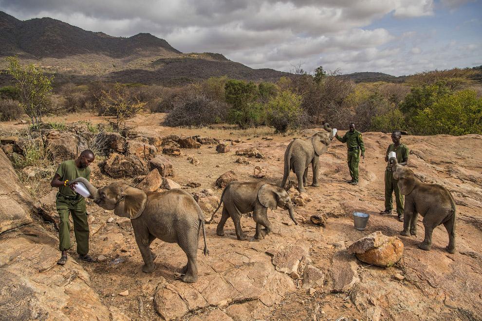 Милые фотографии из серии про ухаживание за осиротевшими слонами в северной части Кении