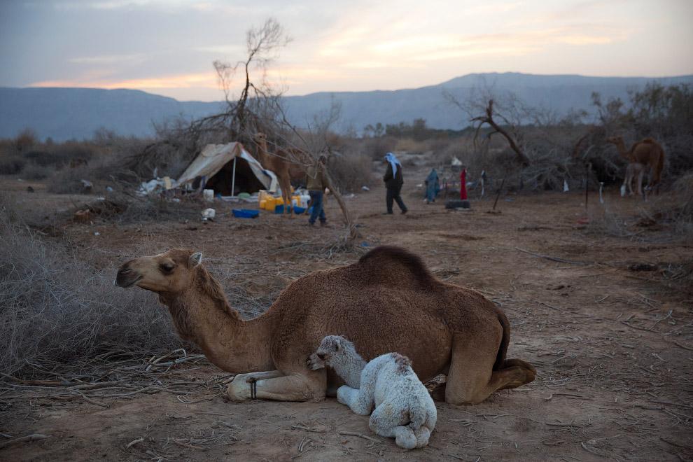 Бедуины Мёртвого горя