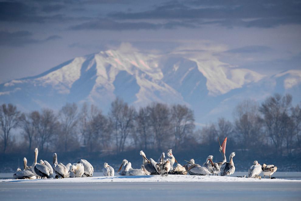 Далматинские пеликаны на озере Керкини в Греции