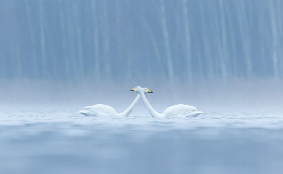 Лебеди-кликуны в Финляндии