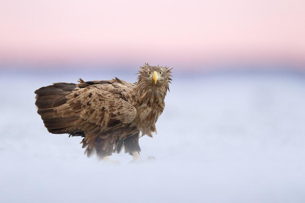 Орлан-белохвост, Национальный парк Хортобадь, Венгрия