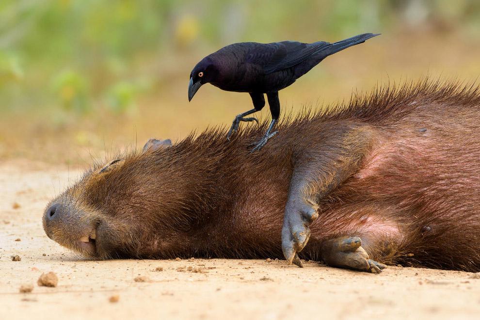 Большая воловья птица и капиба́ра