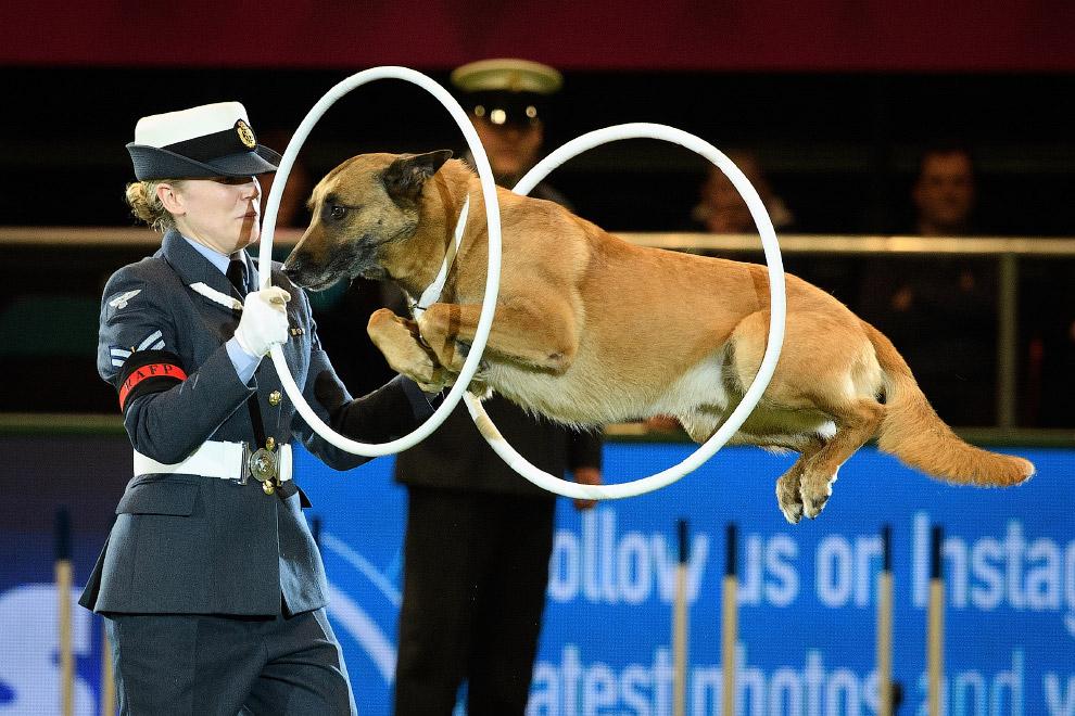 Полицейская собака демонстрирует свои навыки