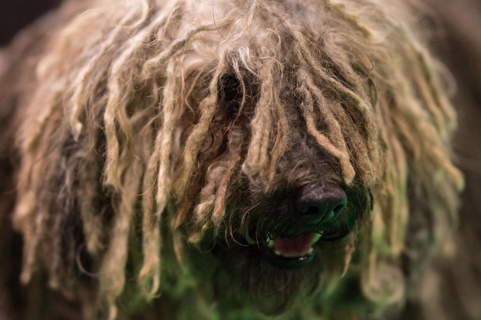 Пу́ли, или венгерская водяная собака