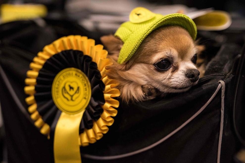 Чихуахуа считается самой маленькой собакой в мире