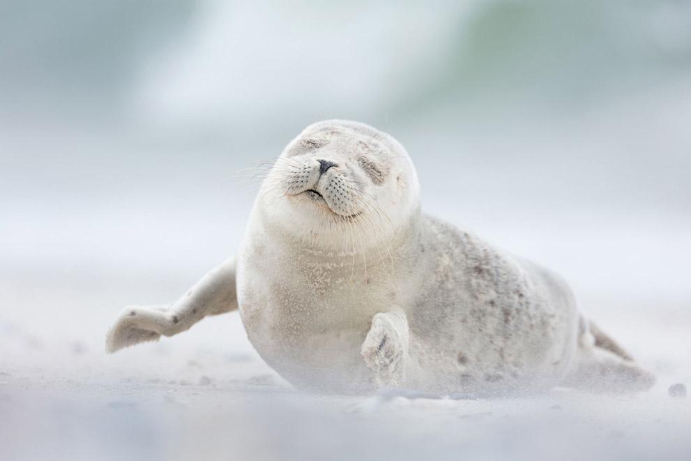 Удовольствие. Тюлень на острове в Германии
