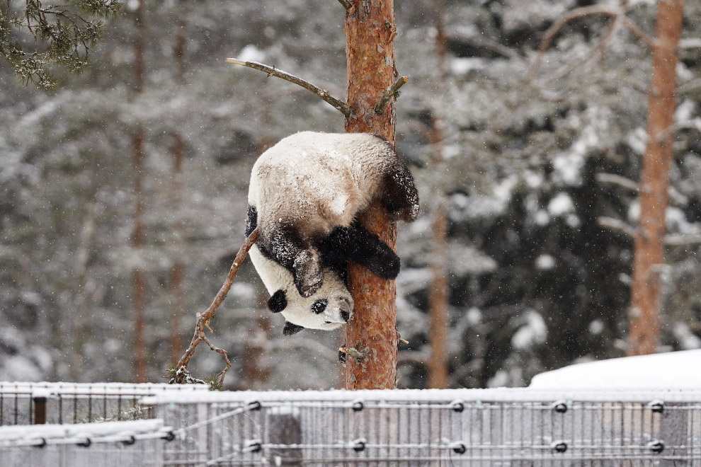 Панде в Финляндии такая погода по душе
