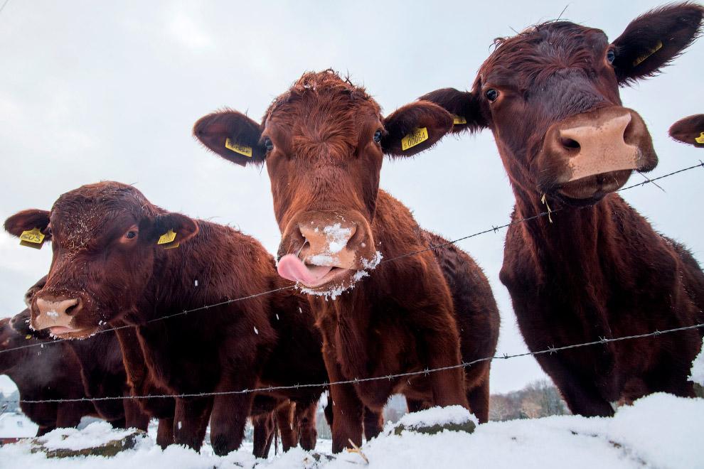 Коровки в снегу